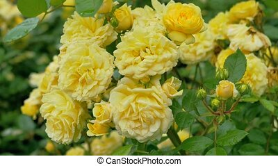 Scrub with a lot of yellow roses. Camera movement from the...