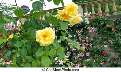 Yellow roses on a background of pink and red roses. focus change makes it possible to see both front and rear.