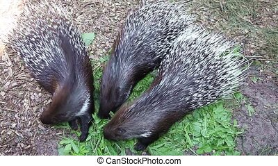 Porcupine eating green grass - Three porcupine eating green...