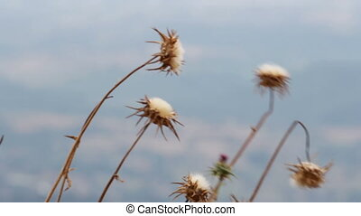 carduus crispus flower - Blessed milk thistle dried flower...