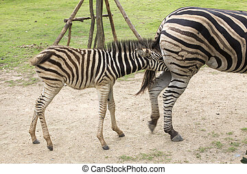 Zebra feeding its foal in the park