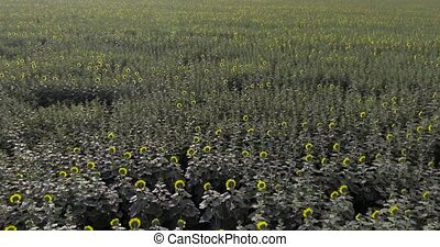 flight over sun flower field aerials shot
