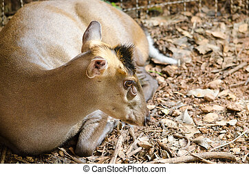 fea muntjac is deer - The Feas Muntjac or Tenasserim muntjac...