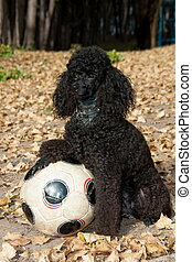 black poodle sitting with a soccer ball
