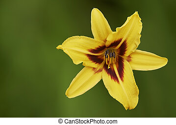 One yellow lily flower on a green background