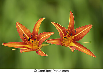 Two orange lily flower on a green background