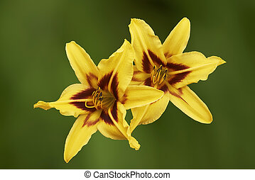 Two yellow lily flower on a green background