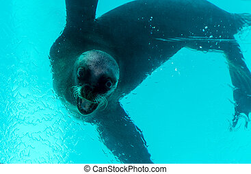 Sea lions in the pool,, Oasis Park, Fuerteventura, Canary...