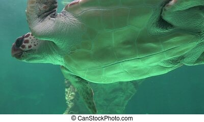 Belly Of Swimming Sea Turtle