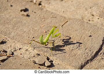 Green mantis on bricks - Green little mantis on bricks