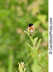 European stonechat - Male European stonechat in the reed