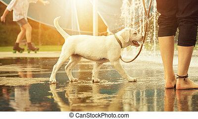 Labrador Retriever dog puppy and water fountain - Labrador...