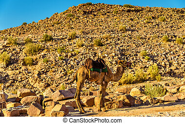 Bedouin camel rests in the ancient city of Petra