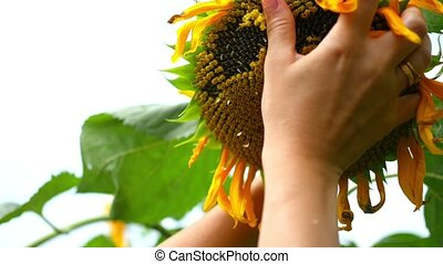 a hand touches the face of a sunflower up close