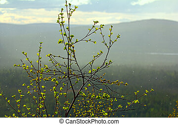 Signs of spring. Young bright green leaves on branches and...