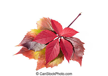 autumn colorful leaves of parthenocissus on white background...