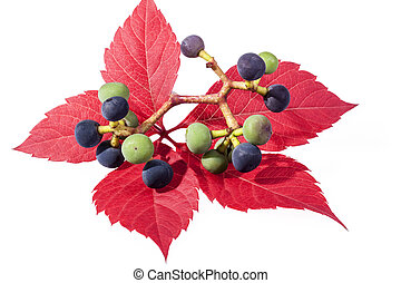 autumn colorfu l leaves of parthenocissus with green and...