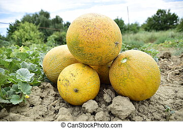 Melons, plucked from the garden, lay together on the ground....