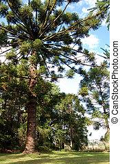 árbol, pino, brasileño