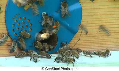 Working process of bees in beehive - Bees of Karnika breed...