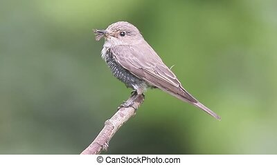 Spotted flycatcher, Muscicapa striata, single bird on...