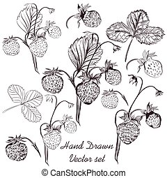 Hand drawn collection or set of vector strawberry plants in realistic engraved style for design.eps
