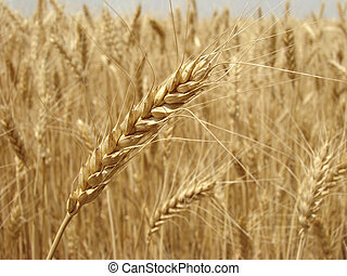 wheat ear - golden ear against ripening wheat field...