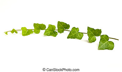 English Ivy vine and leaves isolated on white background