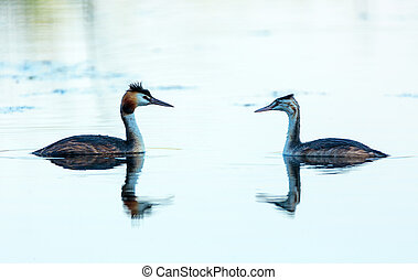Great crested grebe adult and juvenile - Great crested grebe...