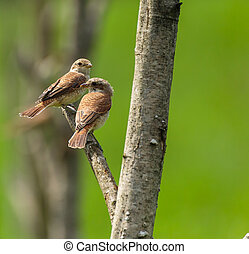 Female of red backed shrike perched on a twig