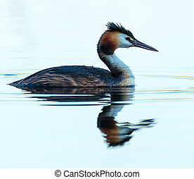 Great crested grebe swimming - Great crested grebe (Podiceps...