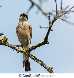 Red backed shrike in the wild, perched on a branch