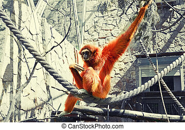 Sad ape sitting on rope in cage toned