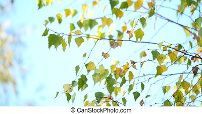 Golden autumn leaves of a birch tree