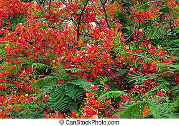 Gulmohar Flowers - Gulmohar flowers at full bloom in South...