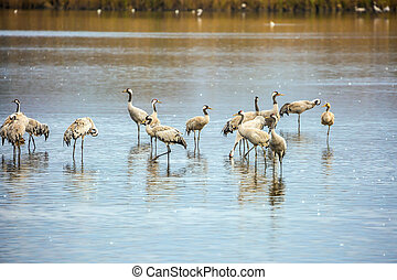 Migratory cormorants on the lake - Migratory gray crane...