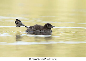 Common Loon Chick Stretching Its Leg - A two-week old Common...