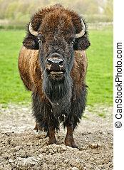Bison - American buffalo in a field