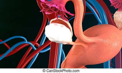 Uterus - The uterus or uterine or womb is a major female...