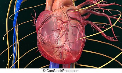Human Heart Anatomy - The heart is a muscular organ about...