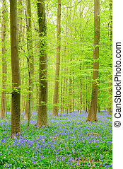 forest with Bluebells - Belgian Forest with lots of...