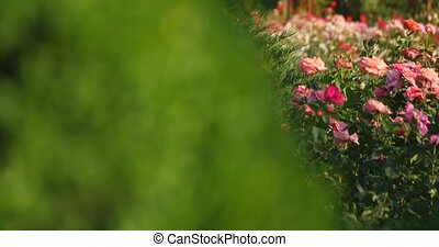 pink rose bush on a background of green shrubs.