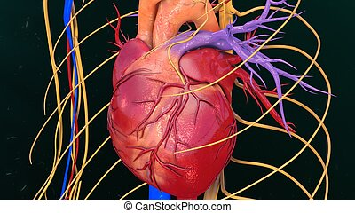 Human Heart - The heart is a muscular organ about the size...