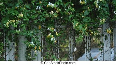 leaves climbing on a metal gate.