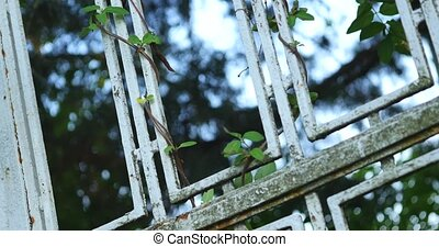leaves climbing on a metal gate