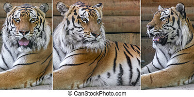 animal Amur tigers