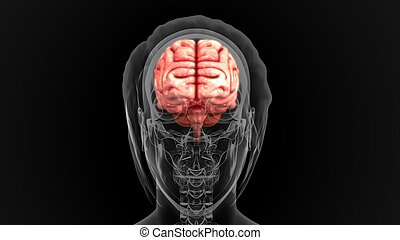 Human Brain - The human brain is the command center for the...