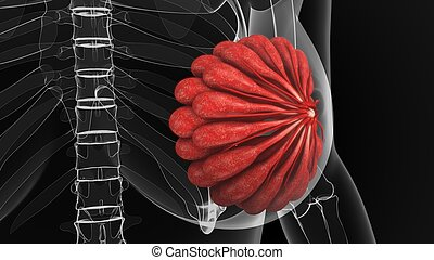 Mammary Glands - The mammary gland is a gland located in the...