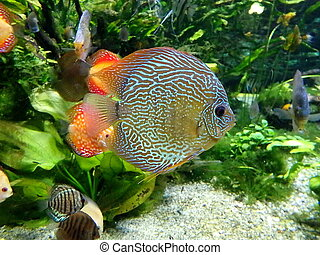 discus fish, colorful tropical discus fish ,
