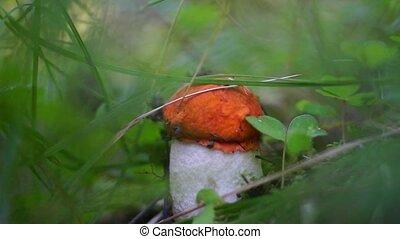 Small mushroom in grass cut